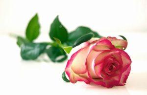 82462-Single-Rose